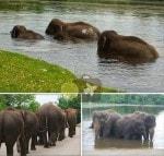 The Elephant Swim at African Lion's Safari