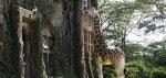Giraffe Manor Nairobi 3