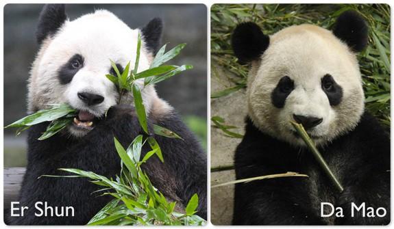 Toronto Zoo Pandas Er Shun and Da Mao