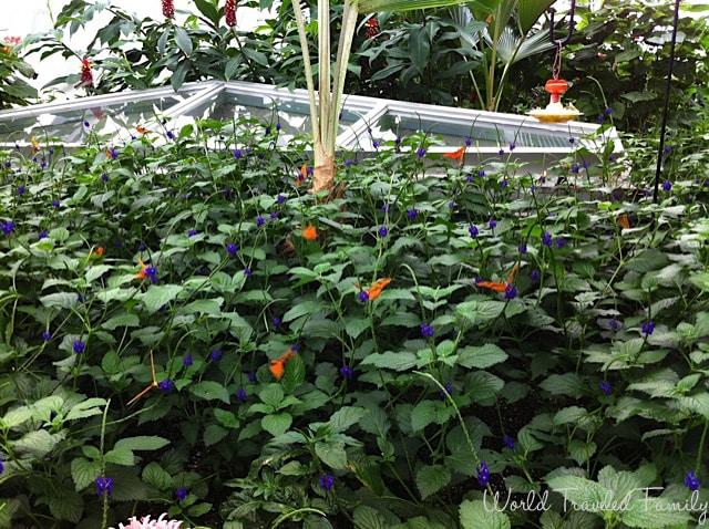 Niagara Butterfly Conservatory - butterflies in the false vervain