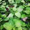 Niagara Butterfly Conservatory - butterflies resting