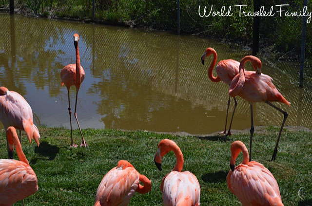 Safari niagara - pink flamingos