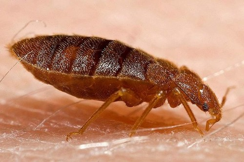 Bed Bugs: An Unfortunate Side Effect of Travel