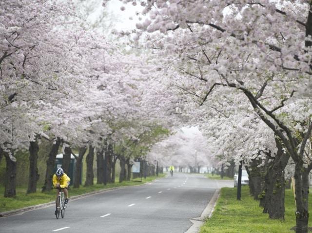 Celebrating Cherry Blossoms in Washington DC