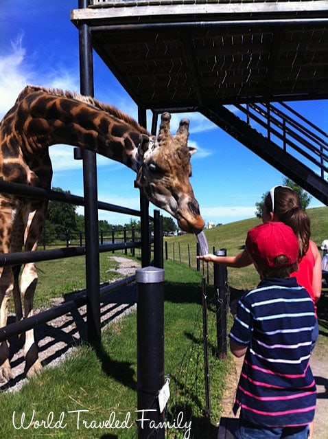 Safari Niagara - feeding the giraffe