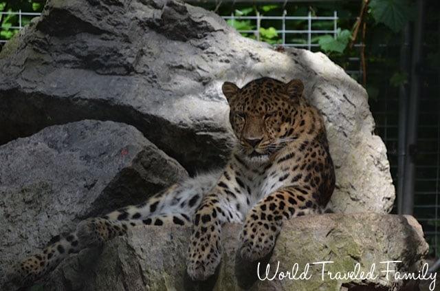 Safari Niagara - leopard